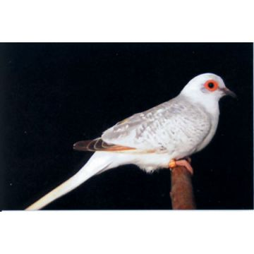 Blue White Tail Laced Diamond Dove