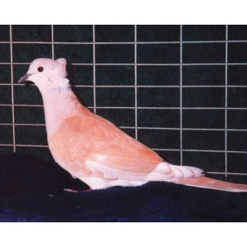 Rear Crested Ringneck Dove