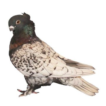 Black Lace Blondinette Classic Old Frill Pigeon