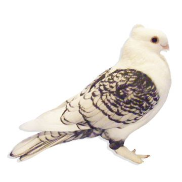 Black Lace Classic Old Frill Satinette Pigeon