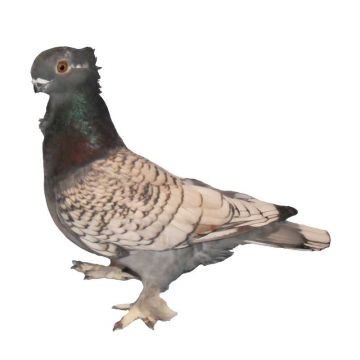 Blue Lace Blondinette Classic Old Frill Pigeon