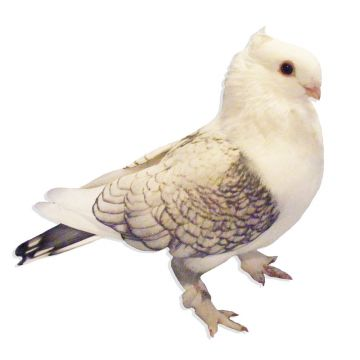 Blue Lace Classic Old Frill Satinette Pigeon