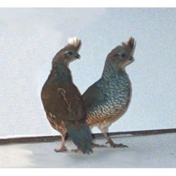 Blue Scale Quail Chicks