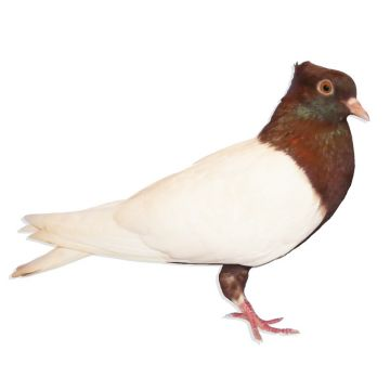 Copper White Wing Angel Pigeon