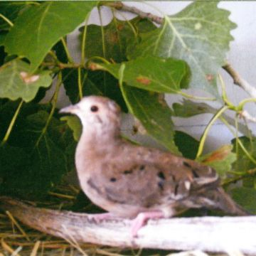 Pygmy Ground Dove