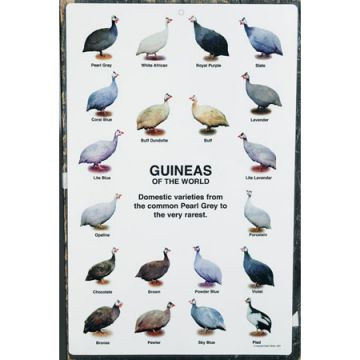 Guineas of the World Poster