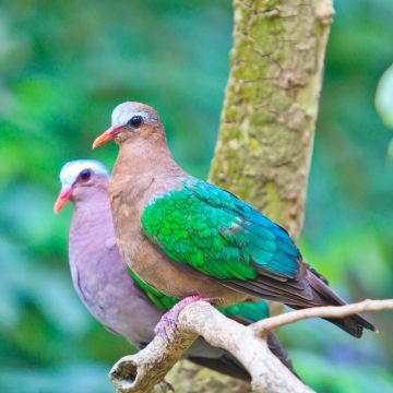Green Wing Dove