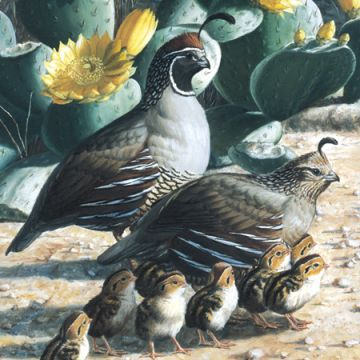 California Valley Quail Chicks