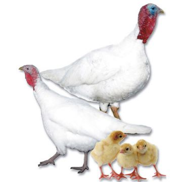 Midget White Turkey Poults