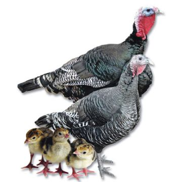 Standard Bronze Turkey Poults