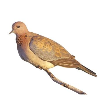 Palm Turtle Dove