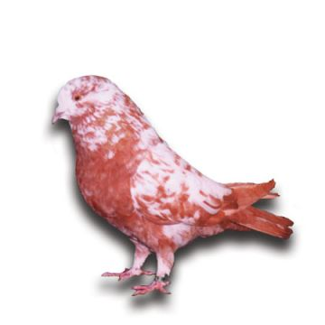 Giant Runt Pigeon - Red, Black, White, or Splashed - Breeder's Choice