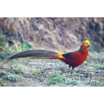Red Golden Pheasant Pair - Adult - Full Color