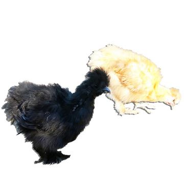 Bantam Silkie Assortment