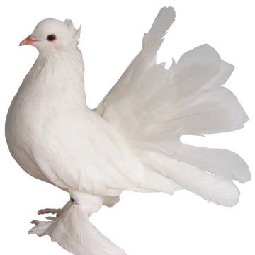 Snow White Indian Fantail Pigeon