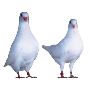 White King Utility Pigeon