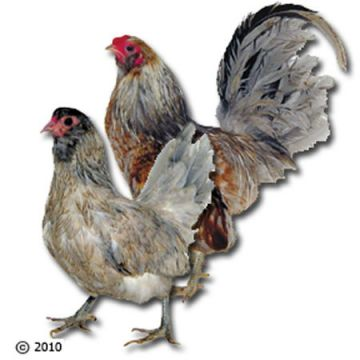 Ameraucana Bantam Chicks