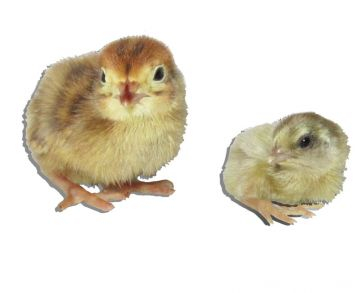 Chinese Button Quail Egg Assortment