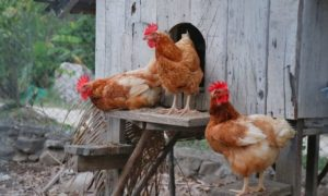 Choosing a Location for Your Chicken Coop