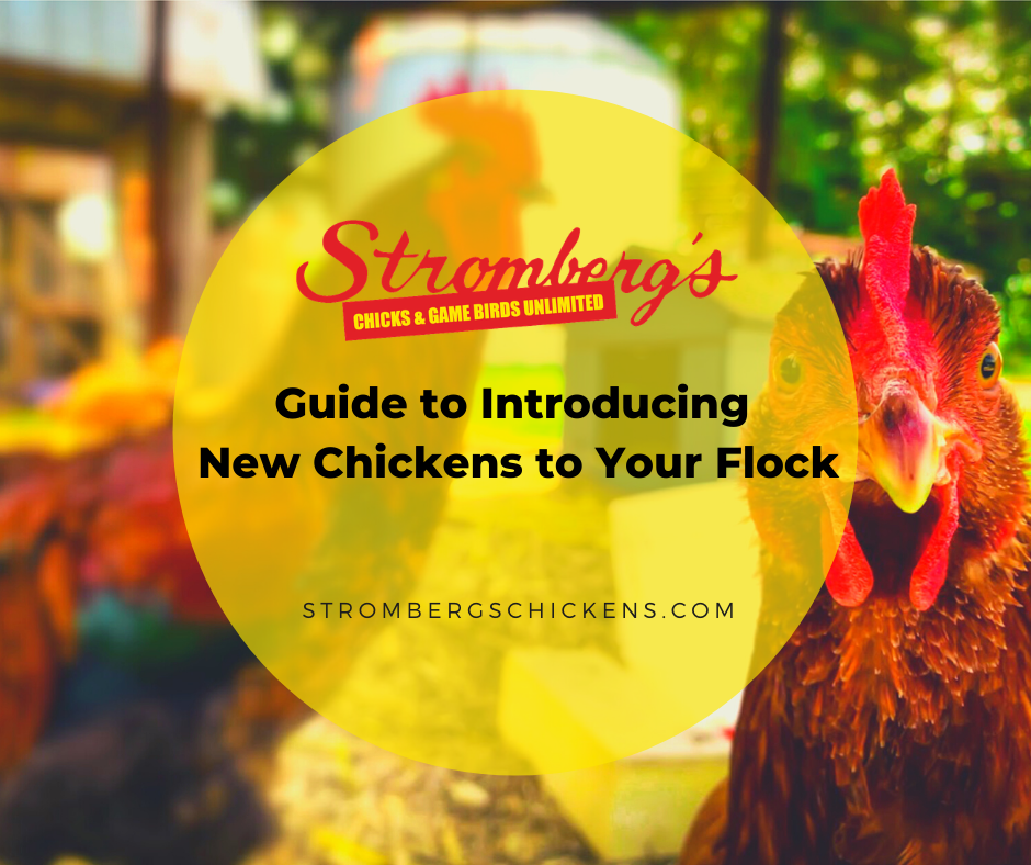 Guide to Introducing New Chickens to Your Flock Stromberg's