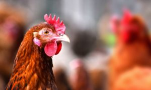 Most Common Health Issues Chickens Face