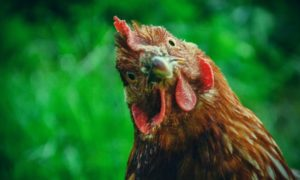 How Do Chickens Communicate with Each Other?