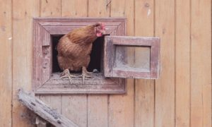 Different Types of Chicken Coops