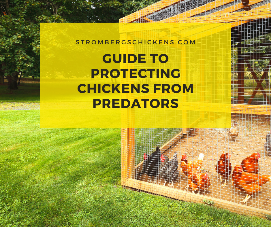 Guide to Protecting Chickens from Predators Stromberg's