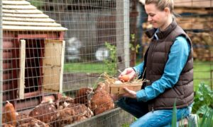 Tips for Building Your Own Chicken Coop