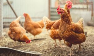 How to Prepare to Raise Chickens at Home