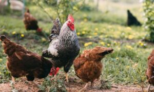 9 Chicken Breeds for Your Backyard Coop