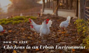 How to Keep Chickens in an Urban Environment