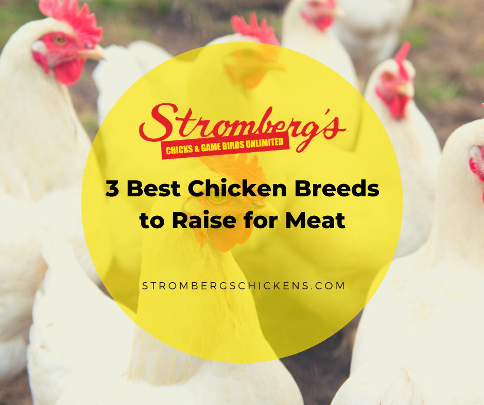 3 Best Chicken Breeds to Raise for Meat Stromberg's