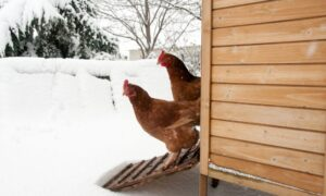 7 Tips for Winterizing Your Chicken Coop