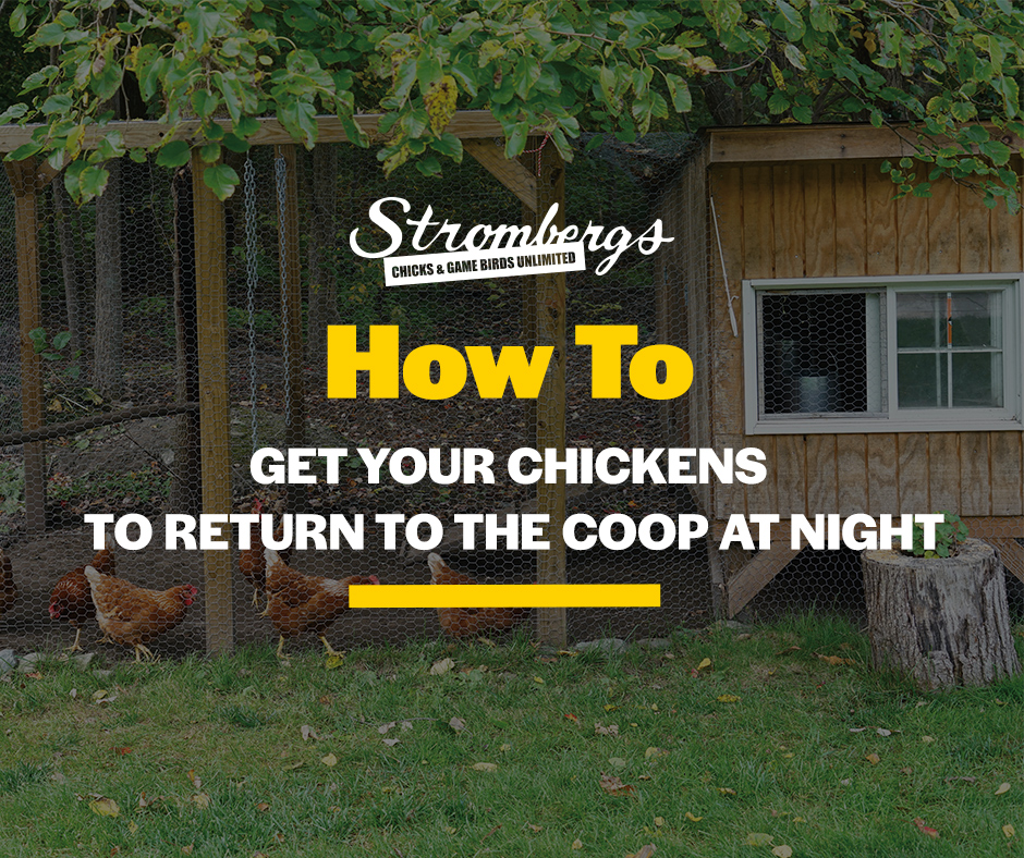 How to Get Your Chickens To Return to the Coop at Night Stromberg's