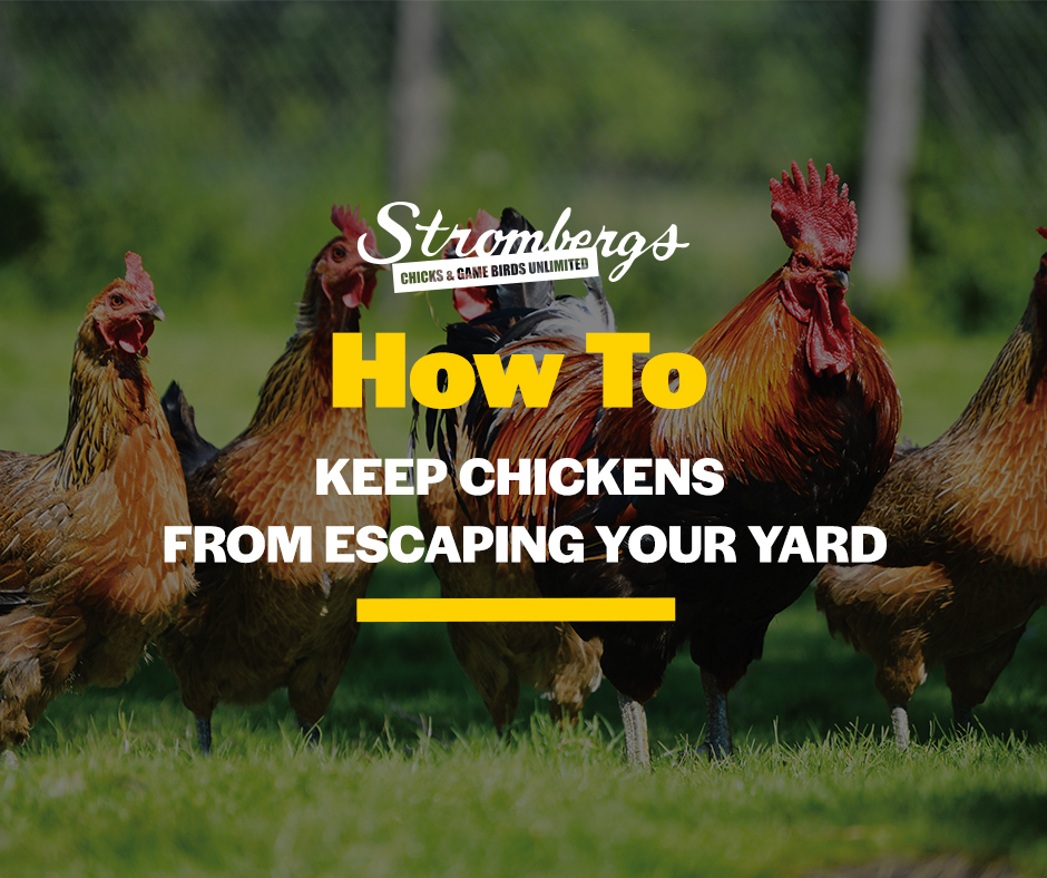 How To Keep Chickens From Escaping Your Yard Stromberg's