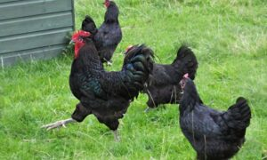 3 Best Chicken Breeds to Raise for Meat