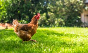 How To Keep Chickens From Escaping Your Yard
