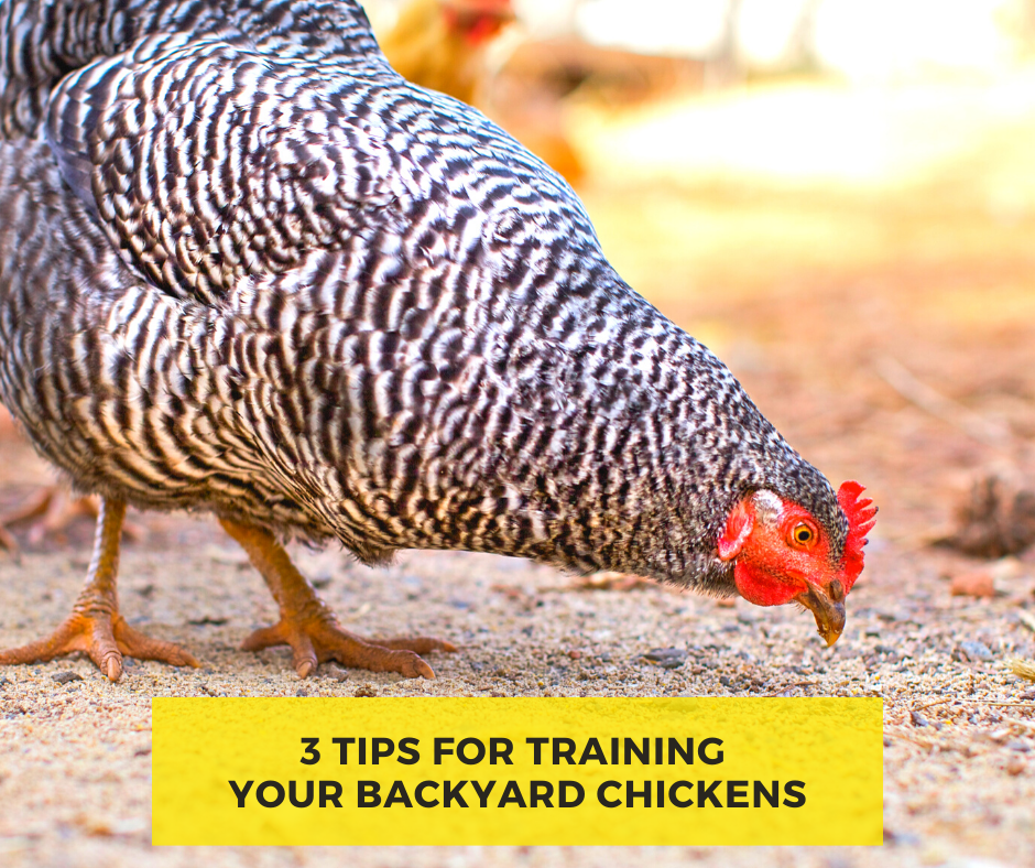 3 Tips for Training Your Backyard Chickens Stromberg's