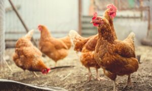 How To Prevent Coccidiosis in Your Chicken Flock