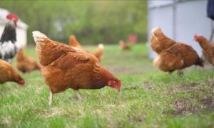3 Tips for Training Your Backyard Chickens
