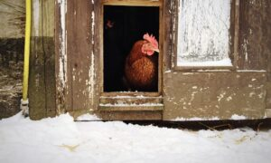 Pros and Cons of Lighting Your Chicken Coop in Winter