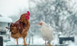 How To Prevent Frostbite in Backyard Chickens