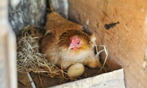 Top 3 Nesting Materials for Chickens