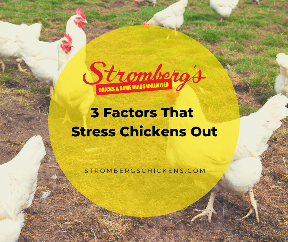 Factors That Stress Chickens Out Stromberg's
