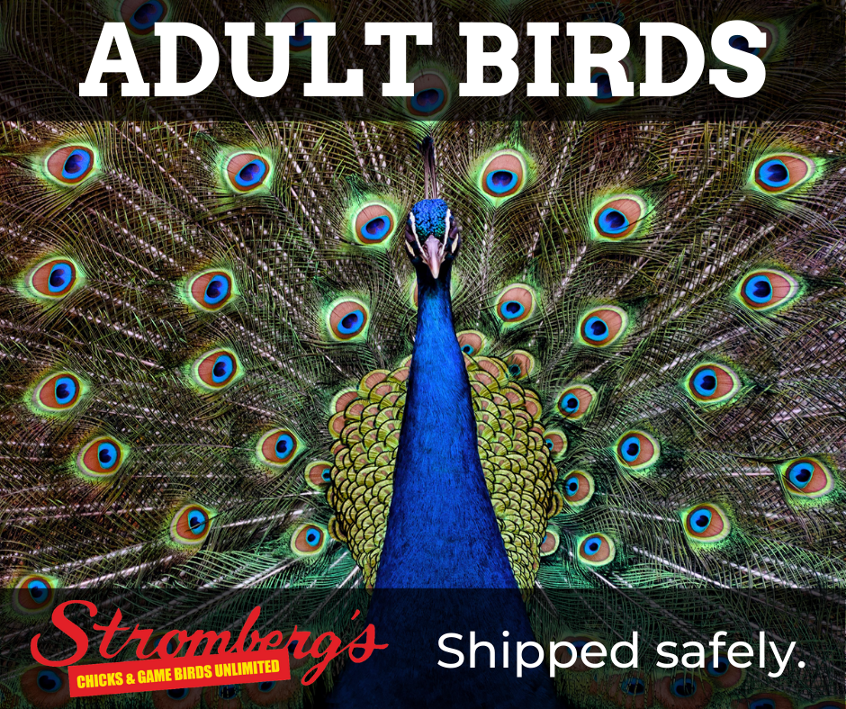 Adult Birds Shipped Safely