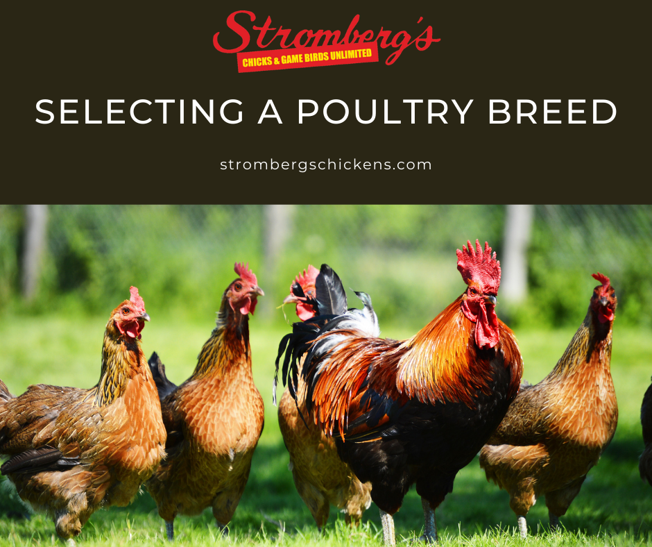 Selecting a Poultry Breed Stromberg's