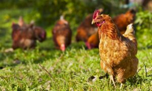 3 Factors That Stress Chickens Out