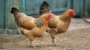Glossary of Poultry and Waterfowl Terms