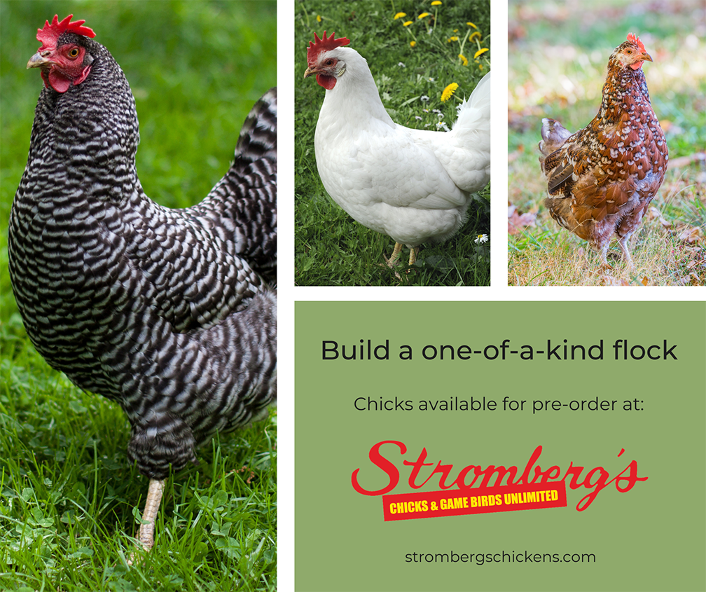 Build a Chicken Flock with Stromberg's